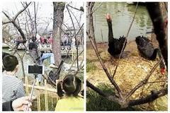 Man treads on swan eggs, beats black swans