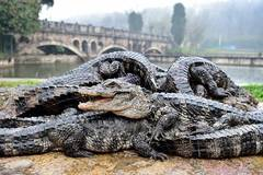 Over 13,000 Yangtze alligators to be transfered to outdoor in E China