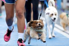 Walkies! Dogs join Bangkok fun run