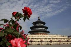 Chinese roses in full blossom in Beijing