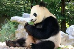 Giant panda enjoys zongzi at zoo in Yangzhou