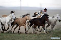 Efforts made to protect Mongolian horse culture