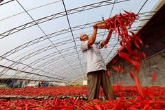 Chillies harvested in N China's Hebei
