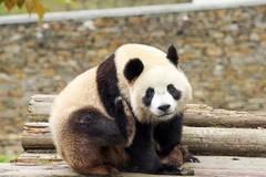 Sichuan's Shenshuping protection base home to over 50 giant pandas