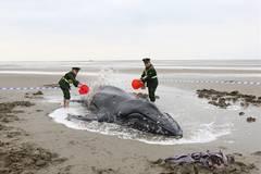 People help stranded humpback whale in E China's Jiangsu