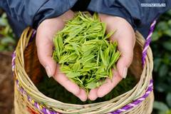 Farmers pick tea leaves at tea garden in Zhejiang
