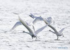 Swans seen on Yellow River in Qinghai, NW China
