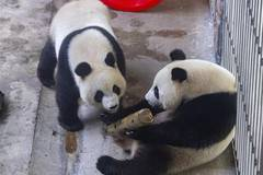Giant panda twins celebrate 3rd birthday in China's Jiangsu