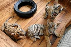 Three South China Tiger cubs play at breeding base in Suzhou, east China