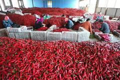 Chili harvest season comes in NE China