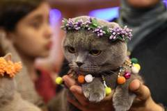 Cat Beauty Festival held in Ankara, Turkey