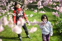 Cherry blossoms in Wuhan, central China's Hubei