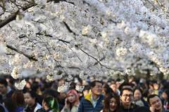 People revel in beauty of cherry blossoms across China