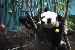 Jinan Wildlife World helps giant panda cool off in summer