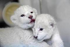 Twin white lion cubs born at Wild World Jinan, China's Shandong