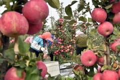Farmers harvest apples in Weihai, E China