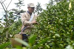 Tea industry helps locals to get rid of poverty in Fuxi, Anhui