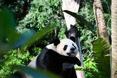 Special food and toys prepared for giant pandas during event to celebrate Int'l Children's Day