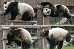 Four giant pandas meet public in southwest China