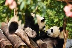 Giant pandas seen in Shaanxi