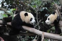 International Panda Day marked in Chengdu