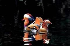 Over 1,000 mandarin ducks migrate to Zhanghe River for winter