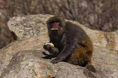 Tibetan macaques play at gorge in SW China