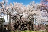 日本最古老的樱花树 树龄将近2000年