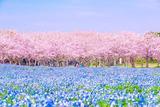福冈梦幻美景 樱花与粉蝶花的共演