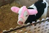 小牛的时髦耳套也太可爱了