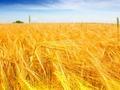 小麦还能上涨多少?