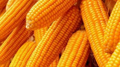 第一天:玉米大豆零星上市 开称价略高于去年