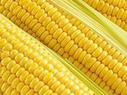 玉米种植成本略降 种植收益限制大豆替代