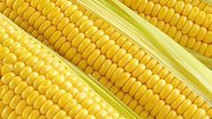 第一天:玉米种植成本略降 种植收益限制大豆替代