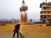 大豆种植面积增加 长势良好迎丰收