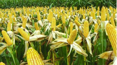 第三天:总体长势良好 种植收益驱动有变化