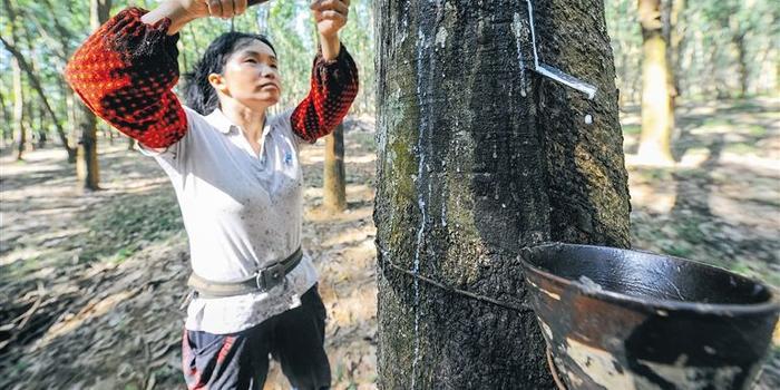 泰国一主要橡胶种植区受真菌病暴发袭击