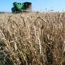 俄羅斯小麥價格飆至四年新高 考慮限制出口