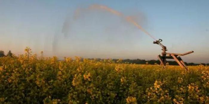 百亿元生意恐泡汤 加拿大油菜籽在中国没人买了