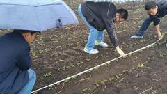 东线第三天:玉米面积显著下滑 水稻面积持续增加