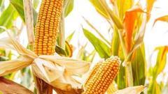 第三天:玉米产量下降 种植效益显现