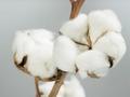 籽棉采收进度加快 收购价格趋稳