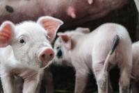 猪真的上天:有股价狂飚 暴涨3400亿、1头猪市值1万4
