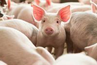 部分养殖企业每头生猪盈利1500元 仔猪行情持续走高