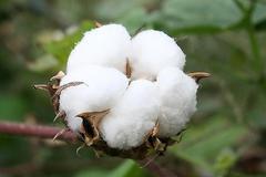 BCI中國:中國地區工作人員堅定不移支持中國棉花產業可持續發展
