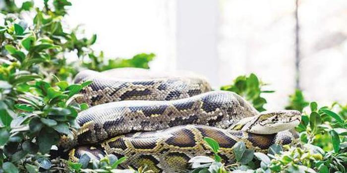 昨日,中山公园动物园,一条蟒蛇在树上晒太阳.