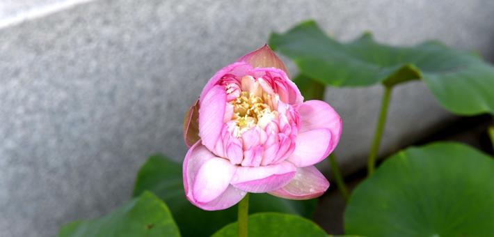 福州茶亭公园200多种荷花进入盛花期