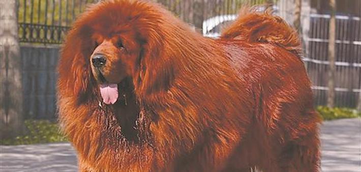 泉州城区禁养53种烈性犬
