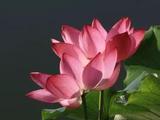 为什么莲花可作为佛教象征