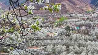 三月金川梨花万亩绽放,盛开如雪。梨花色白
